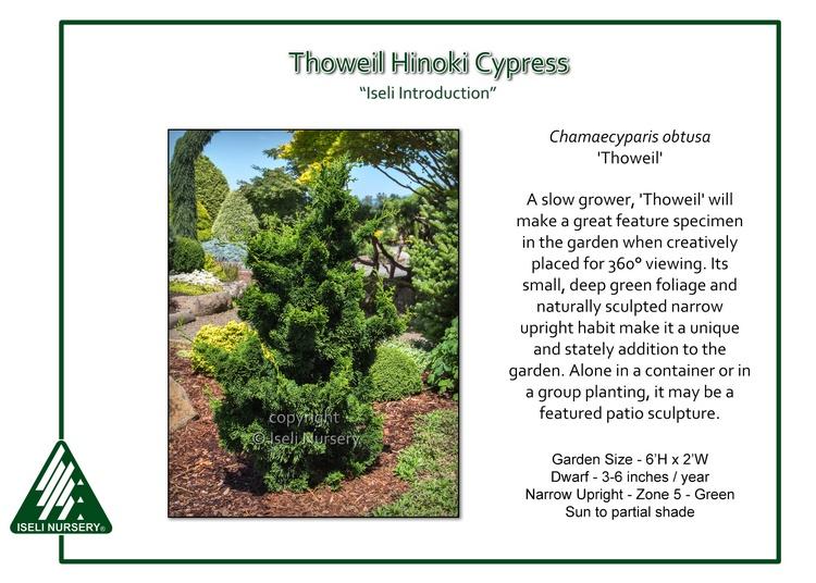Chamaecyparis obtusa 'Thoweil'