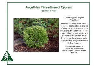 Chamaecyparis pisifera 'Angel Hair'