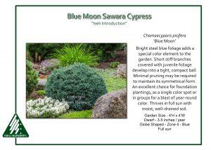 Chamaecyparis pisifera 'Blue Moon'