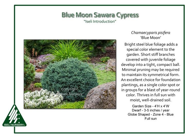 Chamaecyparis Pisifera Blue Moon