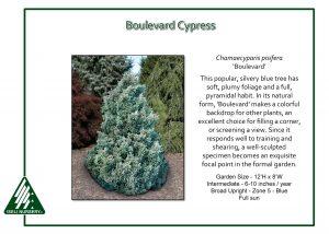Chamaecyparis pisifera 'Boulevard'