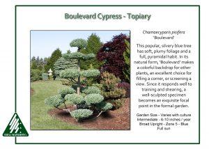 Chamaecyparis pisifera 'Boulevard' - Topiary