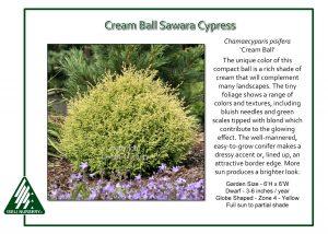 Chamaecyparis pisifera 'Cream Ball'