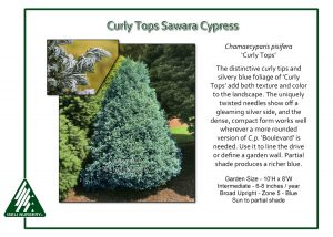 Chamaecyparis pisifera 'Curly Tops'