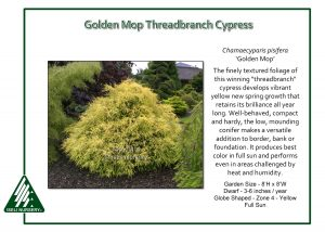 Chamaecyparis pisifera 'Golden Mop'