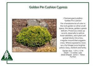 Chamaecyparis pisifera 'Golden Pin Cushion'