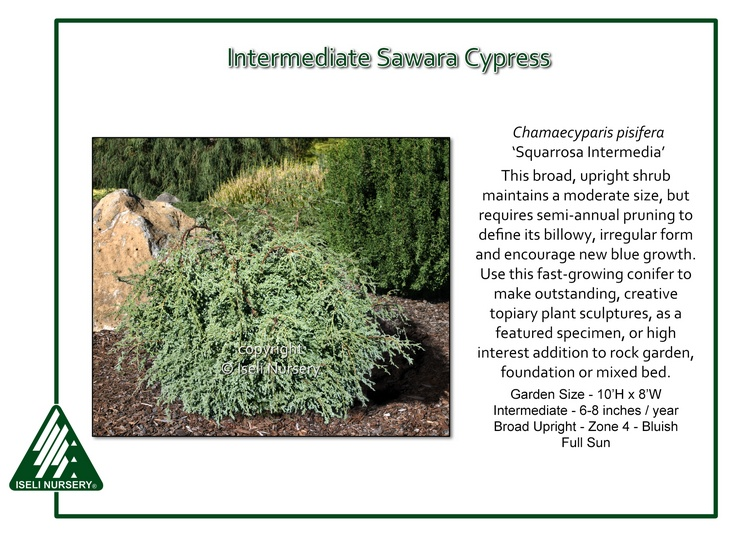 Chamaecyparis pisifera 'Squarrosa Intermedia'