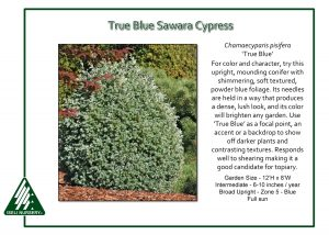Chamaecyparis pisifera 'True Blue'