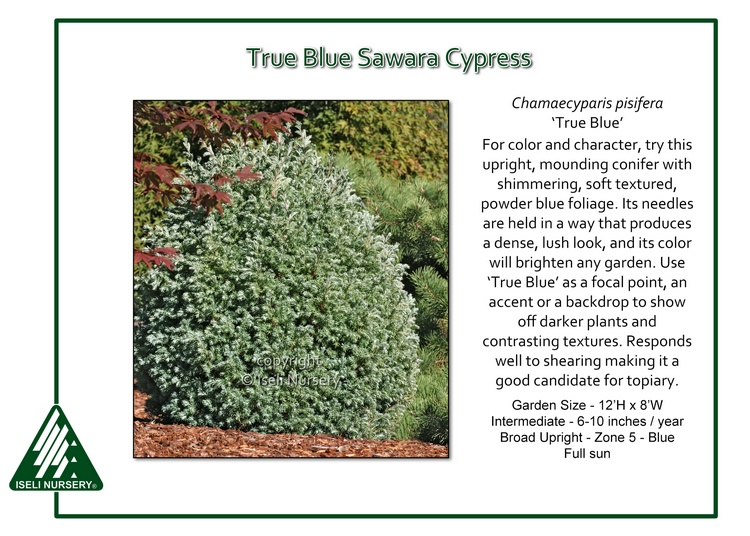 Chamaecyparis pisifera 'True Blue'