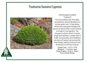 Chamaecyparis pisifera 'Tsukumo'