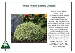 Chamaecyparis pisifera 'White Pygmy'