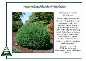Chamaecyparis thyoides 'Heather Bun'