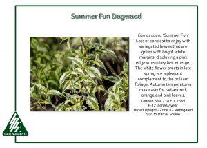 Cornus kousa 'Summer Fun'