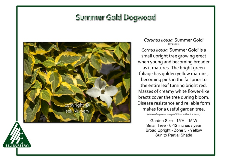 Cornus kousa 'Summer Gold'
