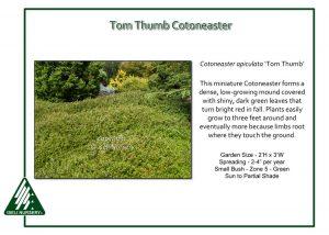 Cotoneaster apiculata 'Tom Thumb'