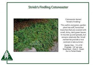 Cotoneaster dameri 'Strieb's Findling'