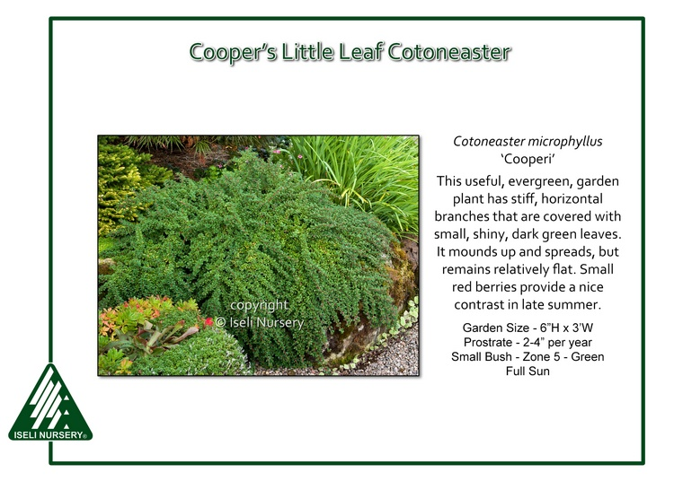 Cotoneaster microphyllus 'Cooperi'
