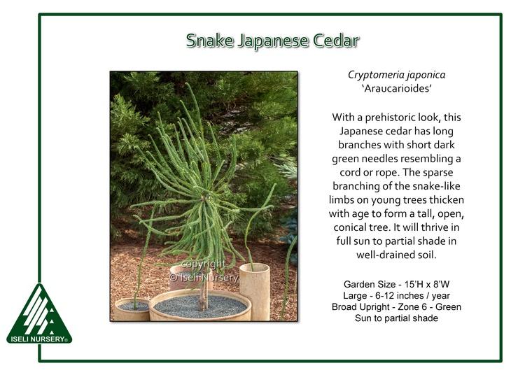 Cryptomeria japonica 'Araucarioides'