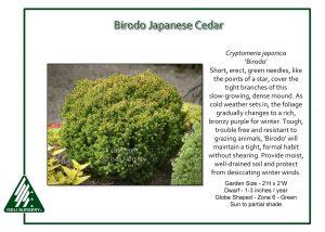 Cryptomeria japonica 'Birodo'