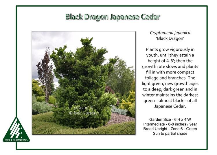 Cryptomeria japonica 'Black Dragon'