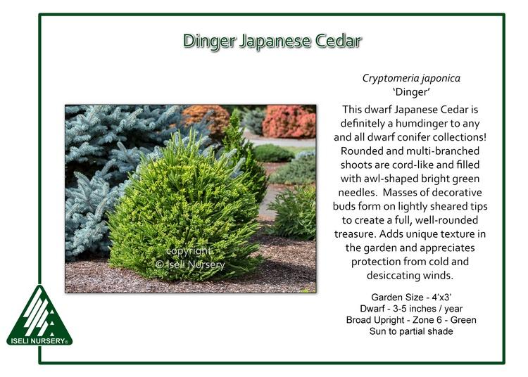 Cryptomeria japonica 'Dinger'