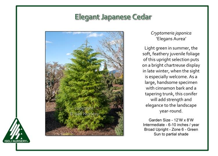 Cryptomeria japonica 'Elegans Aurea'