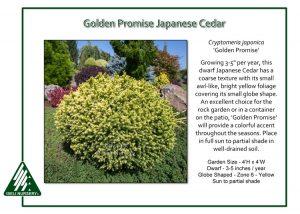 Cryptomeria japonica 'Golden Promise'