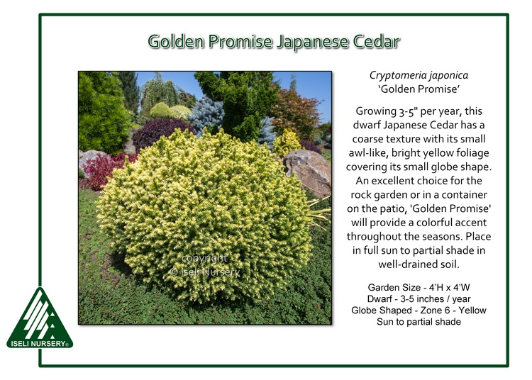 Cryptomeria japonica 'Golden Promise'