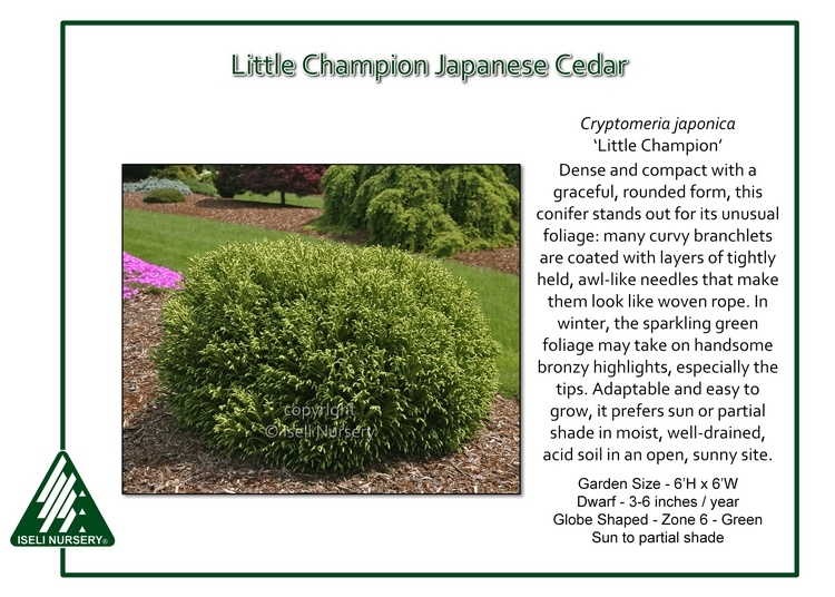 Cryptomeria japonica 'Little Champion'