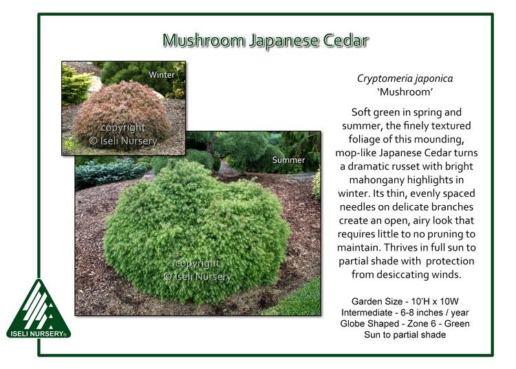Cryptomeria japonica 'Mushroom'