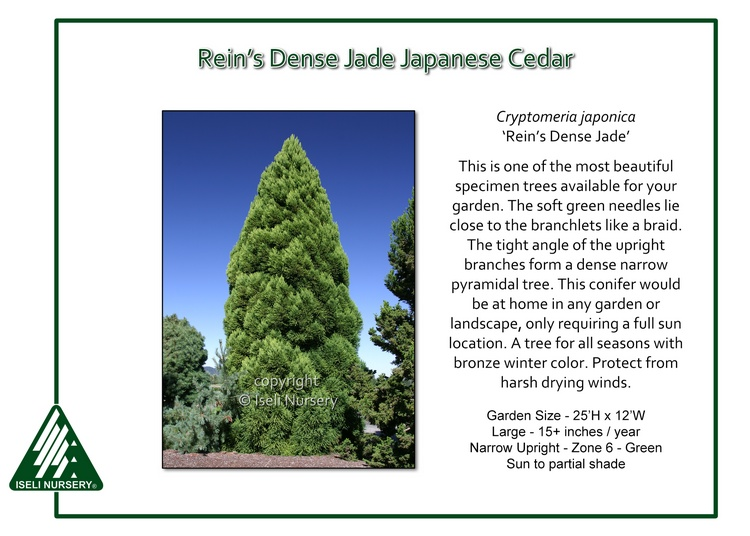 Cryptomeria japonica 'Rein's Dense Jade'