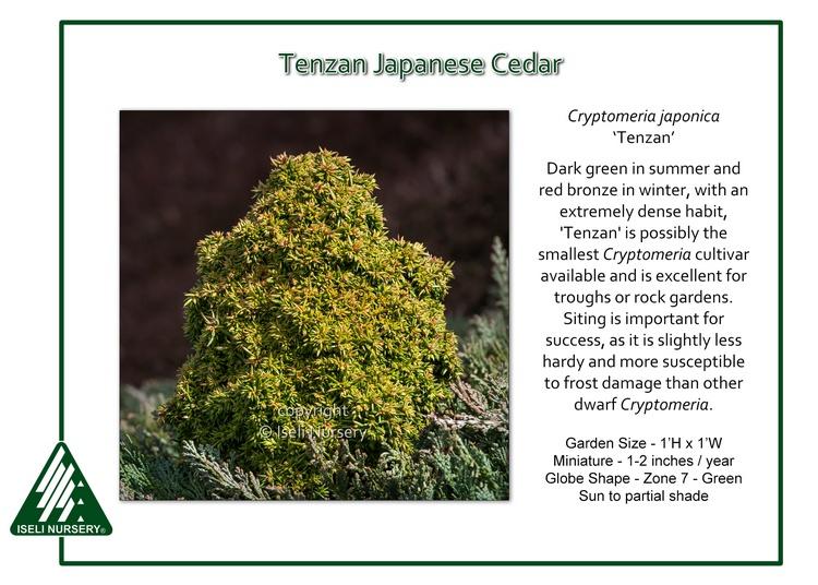 Cryptomeria japonica 'Tenzan'
