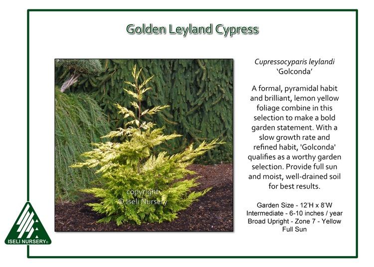 Cupressocyparis leylandi 'Golconda'