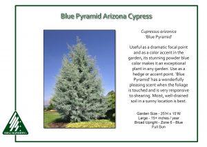 Cupressus arizonica 'Blue Pyramid'