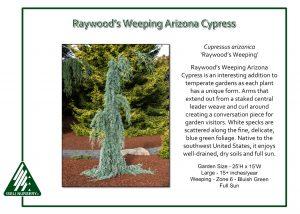 Cupressus arizonica 'Raywood's Weeping'