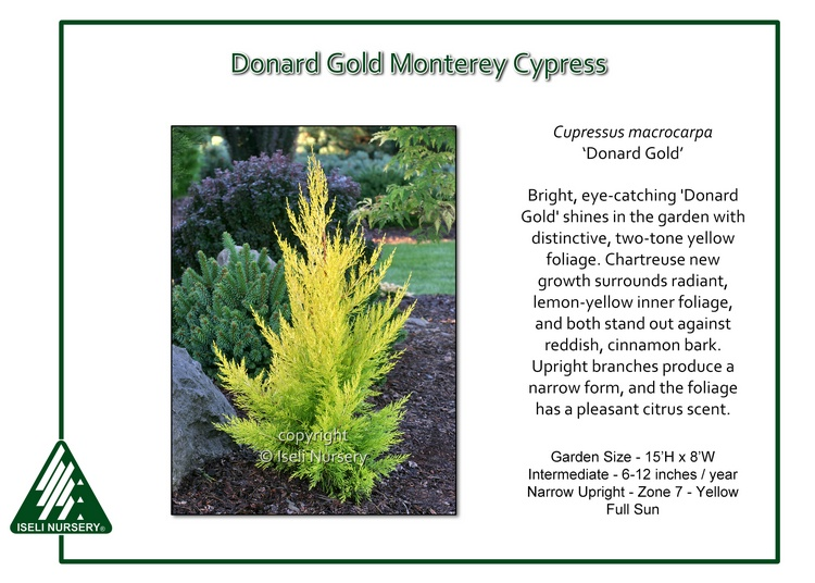 Cupressus macrocarpa 'Donard Gold'