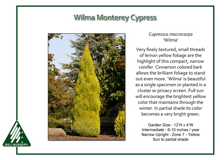 Cupressus macrocarpa 'Wilma'