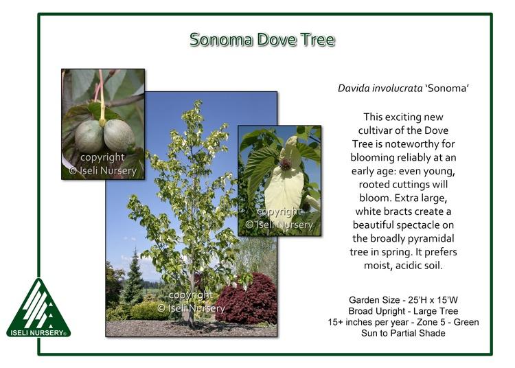 Davidia involucrata 'Sonoma'