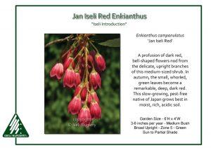 Enkianthus campanulatus 'Jan Iseli Red'