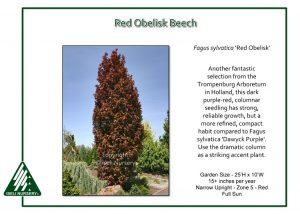 Fagus sylvatica 'Red Obelisk'