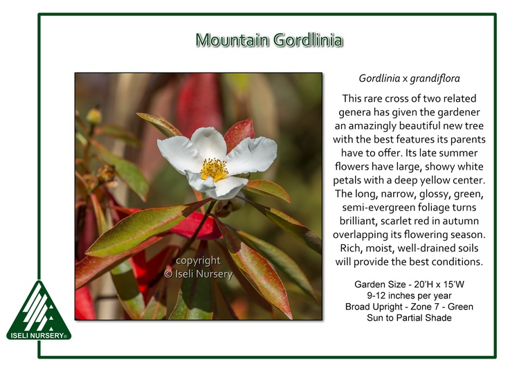 Gordlinia x grandiflora
