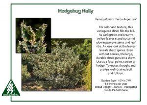 Ilex aquifolium 'Ferox Argentea'