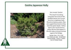 Ilex crenata 'Geisha'