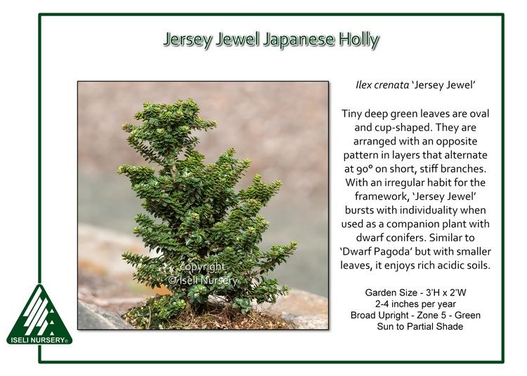 Ilex crenata 'Jersey Jewel'