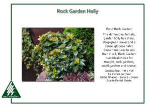 Ilex x 'Rock Garden'