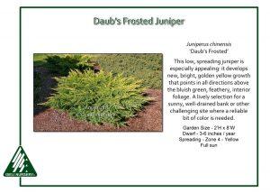 Juniperus chinensis 'Daub's Frosted'