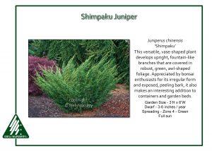Juniperus chinensis 'Shimpaku'