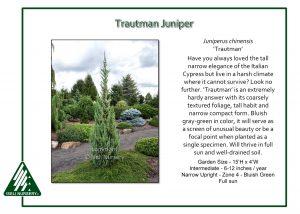 Juniperus chinensis 'Trautman'
