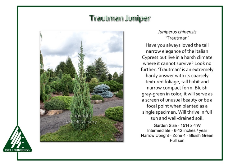 Juniperus chinensis 'Trautman'