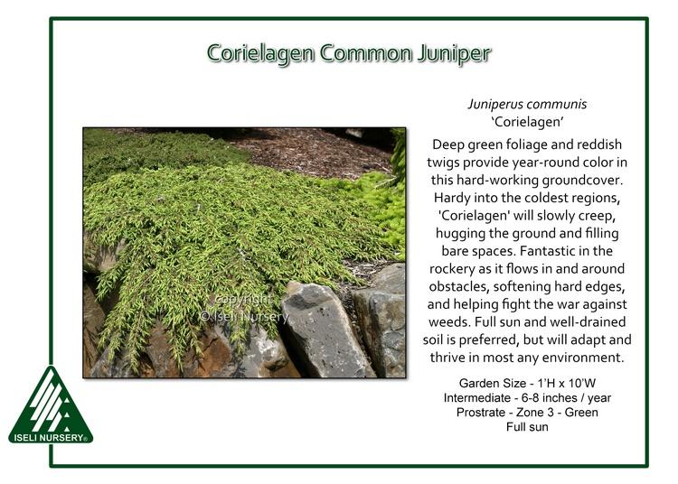 Juniperus communis 'Corielagen'